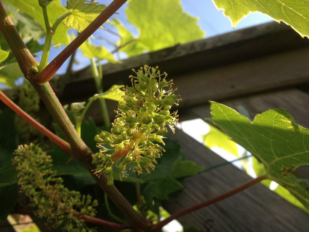 grapes flowering