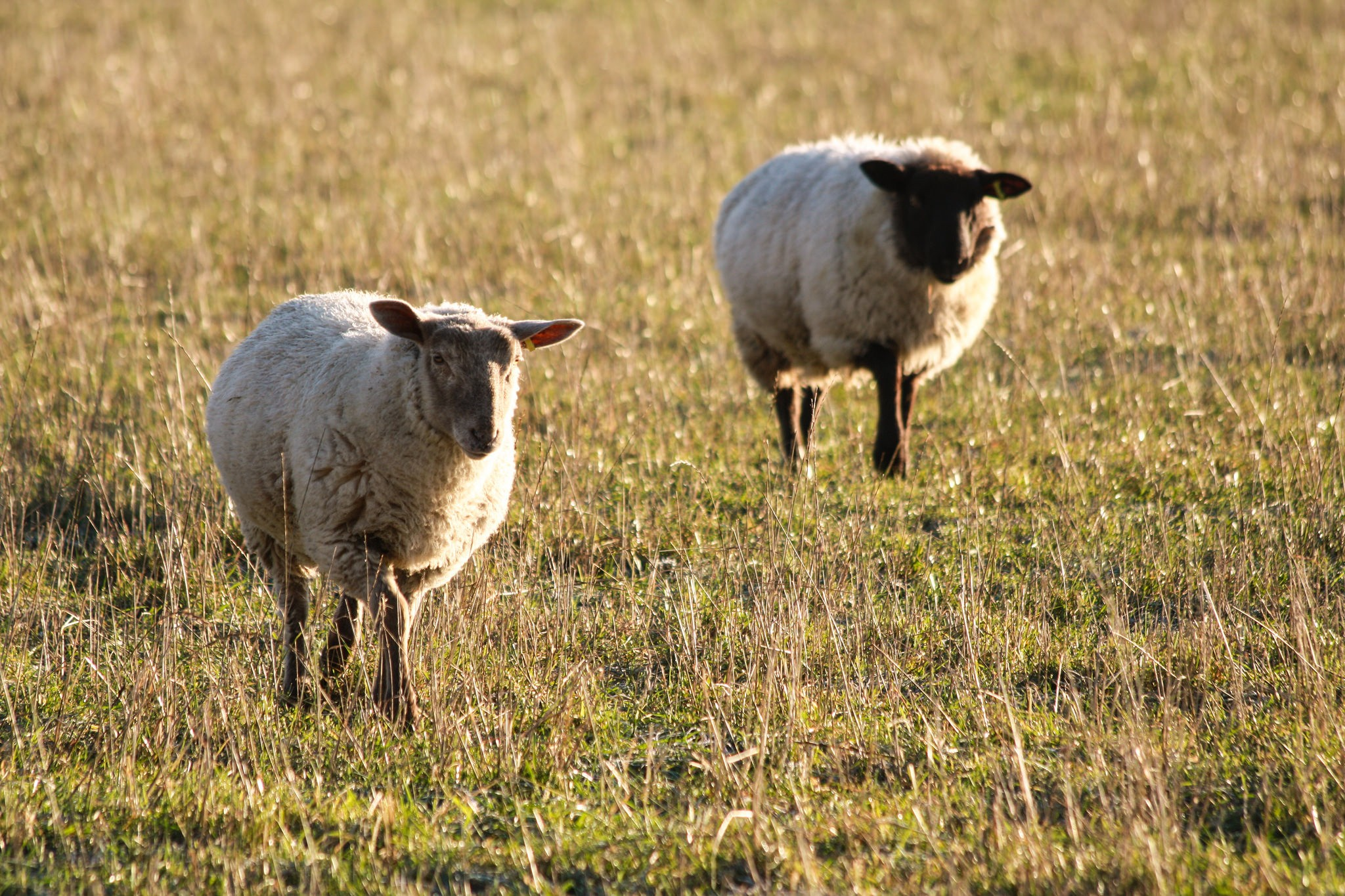 sheep-in-chartham-1