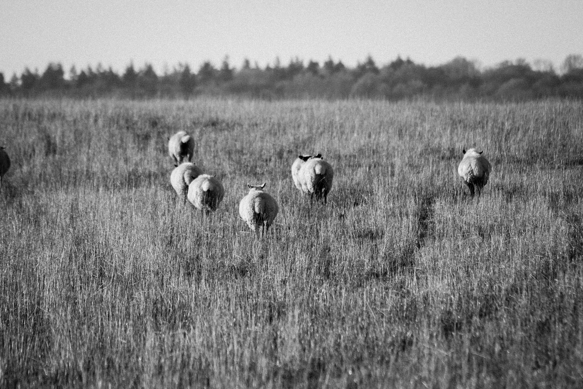 sheep-in-chartham-2