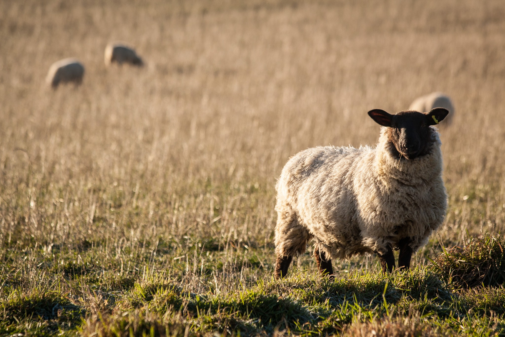 sheep-in-chartham-3