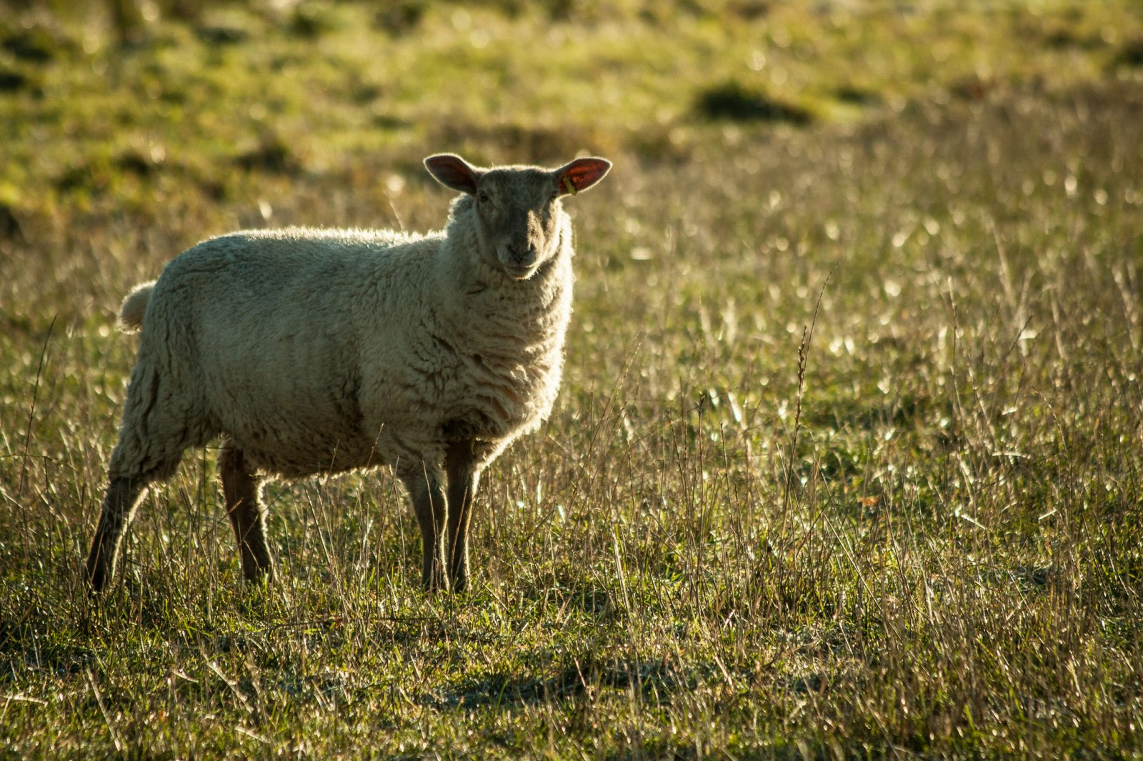 sheep-in-chartham-5
