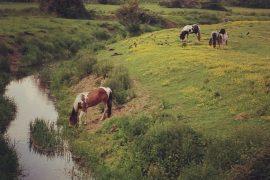 Horses in Ashford
