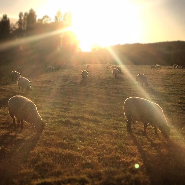 Sheep In Chartham