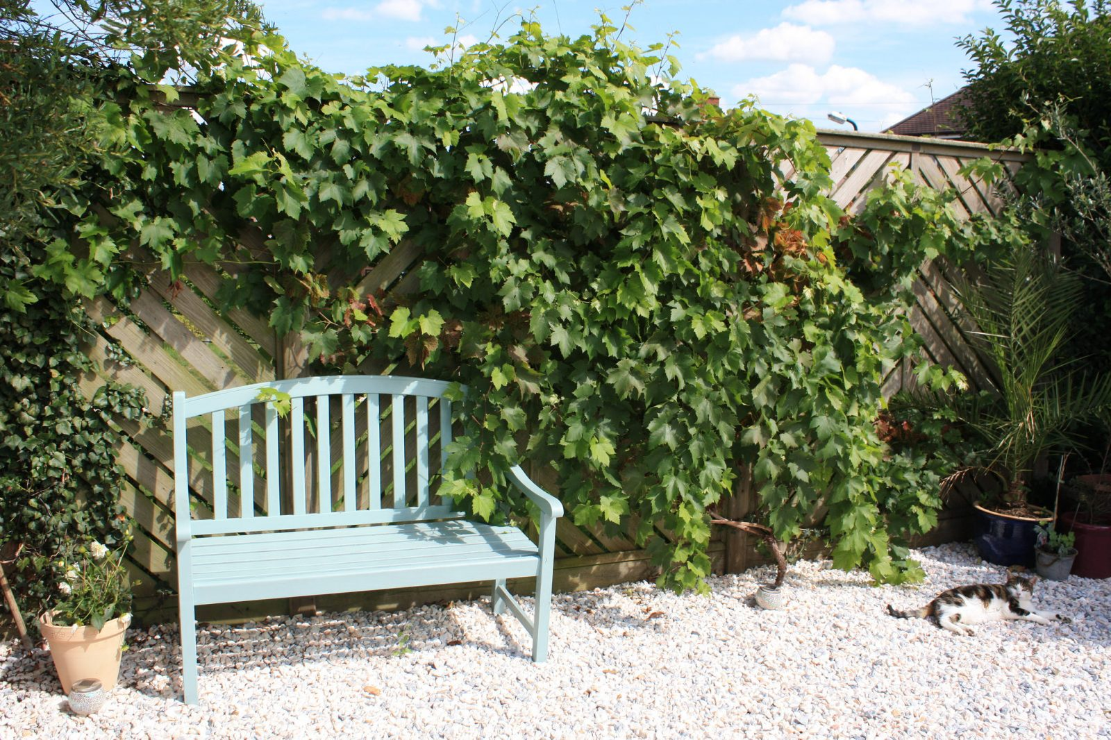 Growing Grape Vines in Southern England