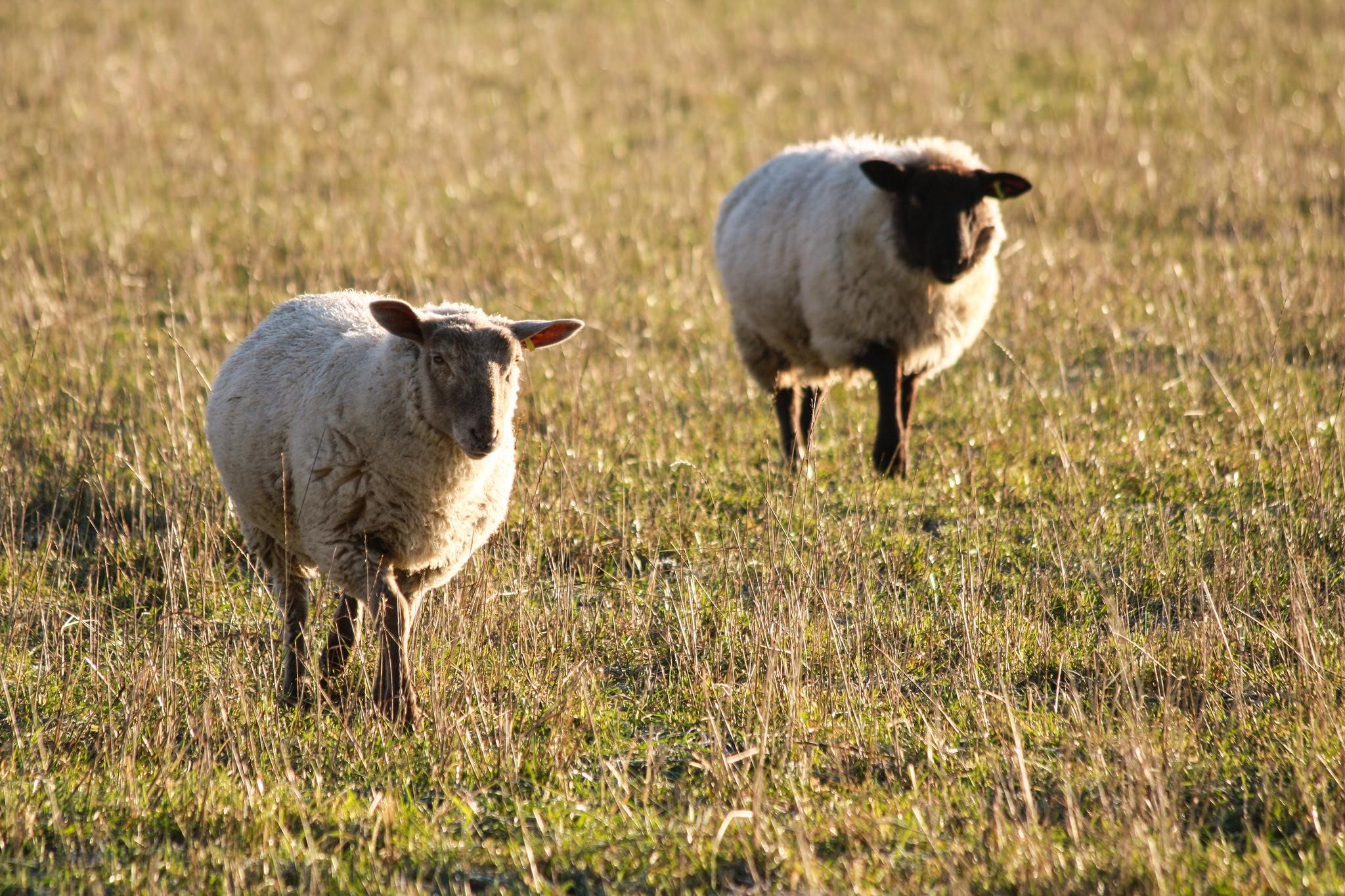 sheep-in-chartham-1
