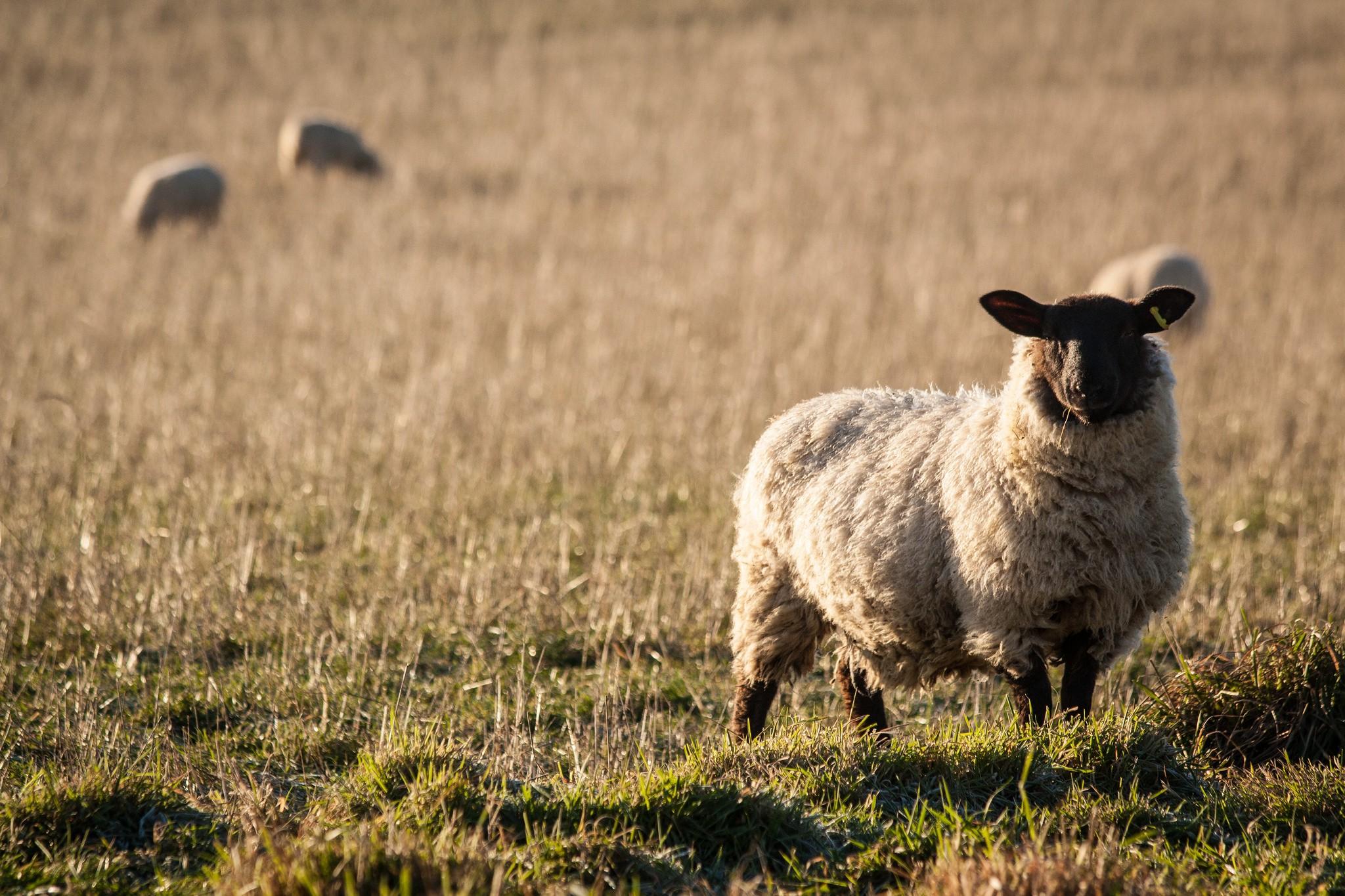 sheep-in-chartham-3