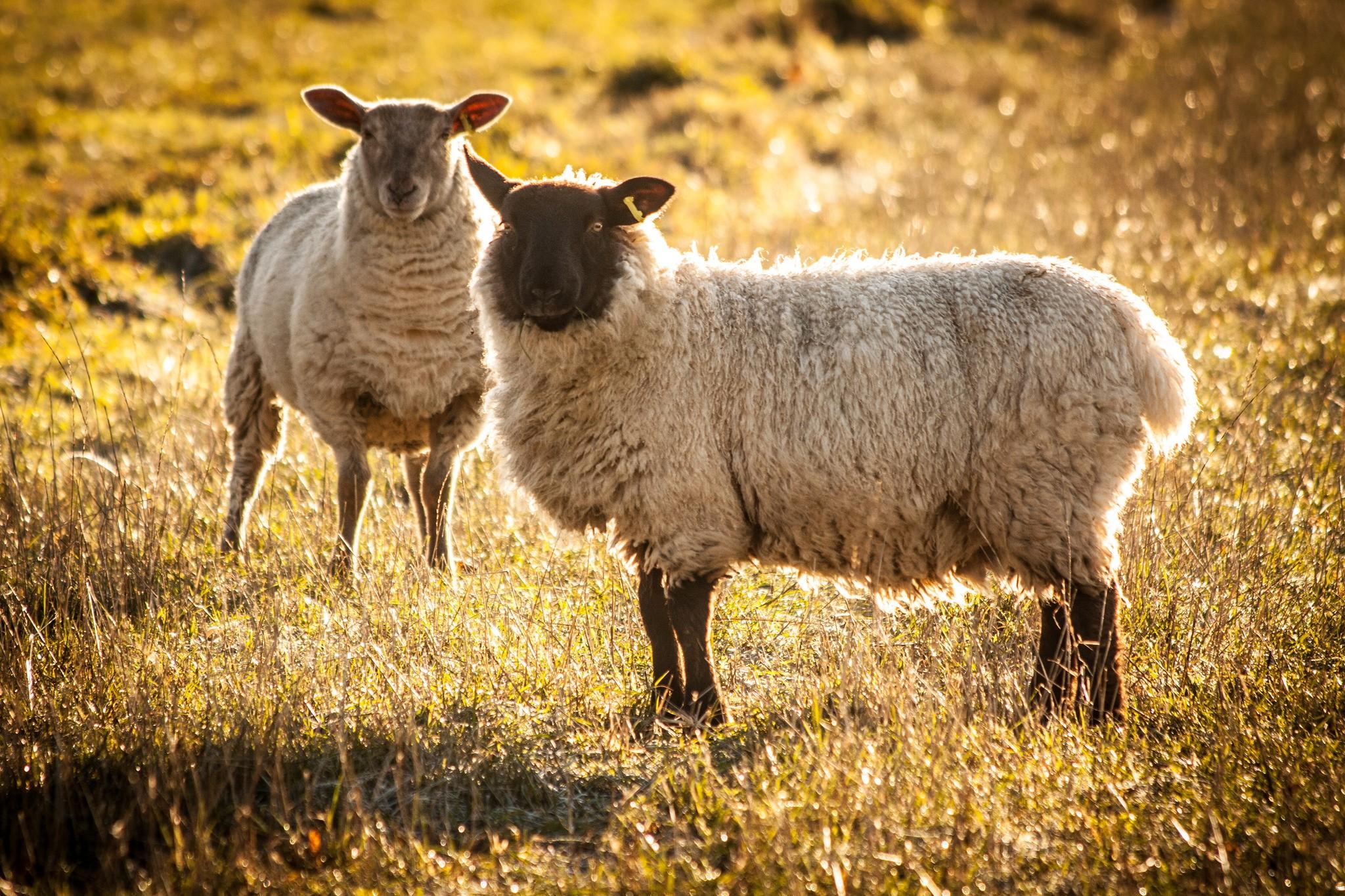 sheep-in-chartham-6