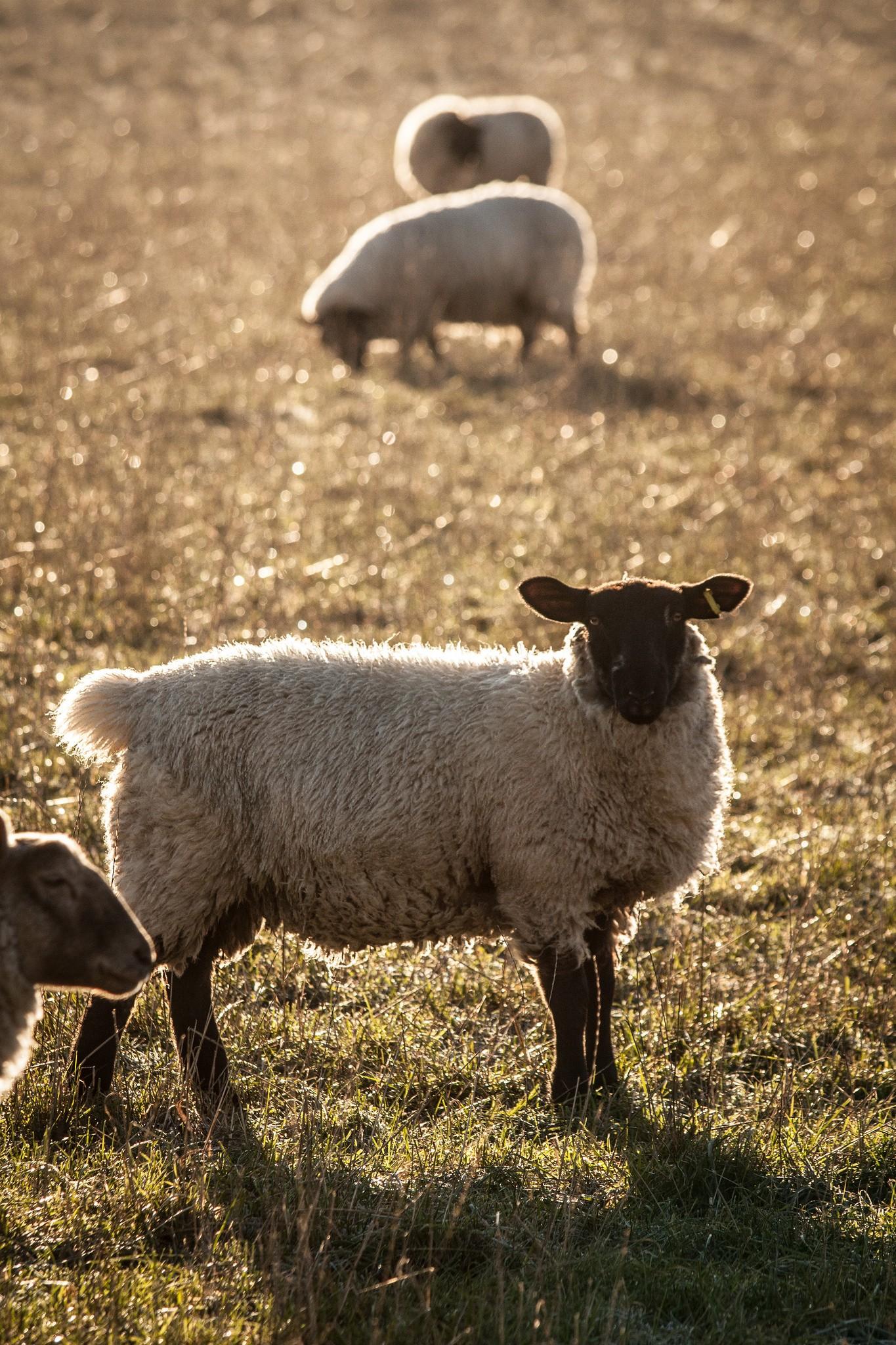 sheep-in-chartham-7